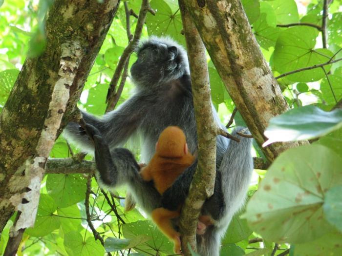 13) Silver Leave Monkey Bako Nat. Park-Borneo