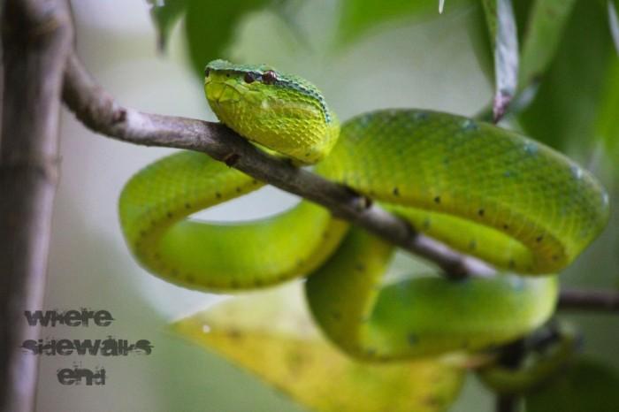 Green-Viper-1024x682